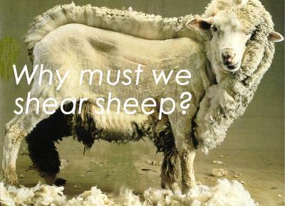 mouton tondu gb.jpg